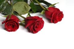 trzy róże obraz royalty free