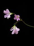 Trzy różowego kwiatu na ciemnym tle Zdjęcia Royalty Free
