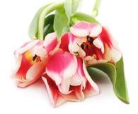 Trzy różowego tulipanu Zdjęcie Stock