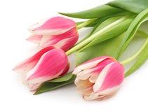 Trzy różowego tulipanu Zdjęcia Stock