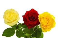 trzy róże Zdjęcia Royalty Free