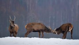 Trzy rogacza W zimie: Dwa Młodej Jeleniej samiec Walczy I Trzeci dopatrywanie, One Dwa Czerwonych rogaczy jeleń Walczy Przy Śnież zdjęcie royalty free