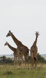 Trzy Rothschild ` s żyrafy Zdjęcia Royalty Free