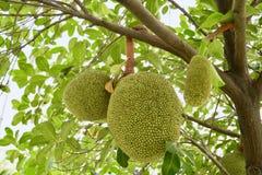 Trzy rozmiar młodzi Jackfruits w lecie zdjęcie stock