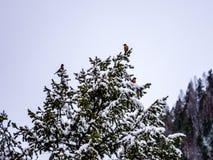 Trzy rudzika Umieszczającego w Śnieżny Pogrążony Wiecznozielonym Zdjęcie Royalty Free