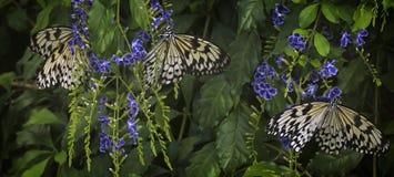 Trzy ryżowego motyla Obraz Royalty Free