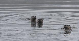 Trzy rzecznych wydr Lontra canadensis Północnoamerykański dopłynięcie i połów w dzikim Zdjęcie Royalty Free