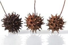 Trzy Słodkiego Gumowego drzewa ziarna strąka Obraz Stock