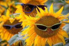 Trzy słonecznika z okularami przeciwsłonecznymi w polu Zdjęcia Stock