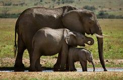 trzy słoni fotografia stock