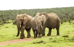 Trzy słonia chodzi na ścieżce Fotografia Royalty Free