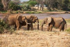 Trzy słonia Chodzi na sawannie, Afryka (Loxodonta Africana) Fotografia Stock