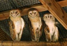 trzy sowy Fotografia Royalty Free