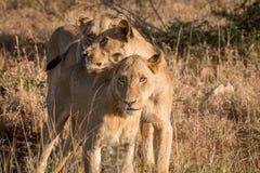 Trzy spajają lwa Obraz Royalty Free