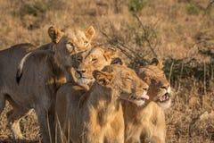 Trzy spajają lwa w Kruger parku narodowym Fotografia Stock