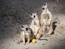 Trzy suricates ogląda out zdjęcie royalty free