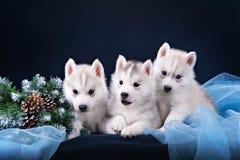 Trzy szczeniaków husky i świerczyna wianek Zdjęcia Royalty Free