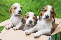 Trzy szczeniaka są Estońskimi ogarami w kartonie Sprzedaż pu zdjęcie royalty free