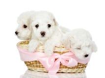 Trzy szczeniaka w koszu. odizolowywający na bielu Fotografia Stock