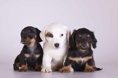 trzy szczeniaki Zdjęcia Royalty Free