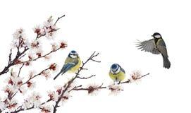 Trzy tits w czereśniowym drzewie kwitnie gałąź na bielu fotografia royalty free