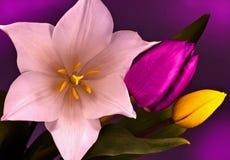 Trzy tulipan Obrazy Stock