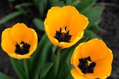 trzy tulipanu żółty Zdjęcia Royalty Free