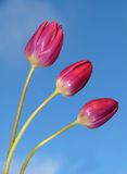 trzy tulipanu Zdjęcia Royalty Free
