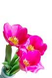trzy tulipanu Zdjęcie Royalty Free