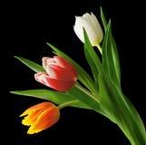 Trzy tulipanu Zdjęcie Stock
