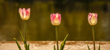 trzy tulipanu Zdjęcia Stock