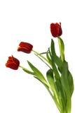 Trzy tulipanu na bielu Zdjęcia Stock
