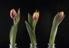 Trzy tulipanu w szklanych wazach Obraz Royalty Free