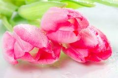 Trzy tulipanu z kroplami rosa Fotografia Stock