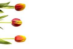 Trzy tulipanu z liśćmi na białym tle Fotografia Royalty Free