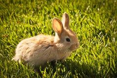 Trzy tydzień stary dziecka królik Fotografia Royalty Free