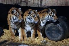 trzy tygrysy stoją Obrazy Royalty Free