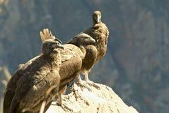 Trzy umieszczali Andyjskich kondory Obrazy Stock
