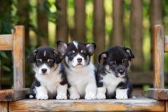 Trzy uroczego Welsh corgi szczeniaka Obrazy Stock