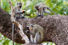 Trzy w drzewie Zdjęcia Royalty Free