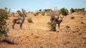 Trzy waterbuck Kobus ellipsiprymnus żeńska antylopa w Africa obraz royalty free