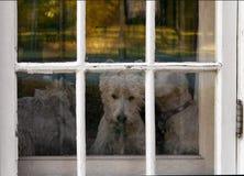 Trzy Westie psa gapi się out drzwiowego okno Z Odłupaną farbą fotografia stock
