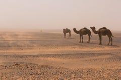 Trzy wielbłąda chodzą przez erga Chebbi pustyni przez burzy piaskowej, Maroko fotografia stock