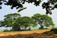 Trzy wielkiego drzewa Obraz Royalty Free