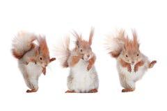 Trzy wiewiórka Obrazy Royalty Free