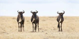 trzy wildebeests zdjęcia royalty free
