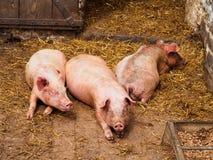 trzy świnie Fotografia Royalty Free