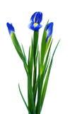 Trzy wiosna irysa zdjęcia stock