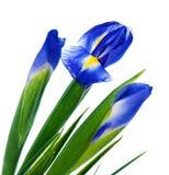 Trzy wiosna irysa obraz royalty free