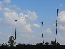 Trzy Wysokiego drzewa dosięga niebo Fotografia Royalty Free